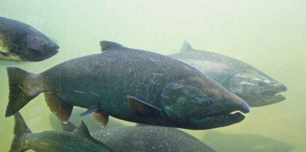Chinook salmon.