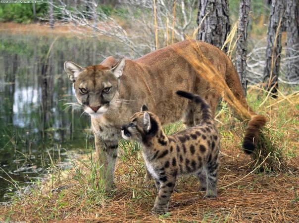 Panther florida 1