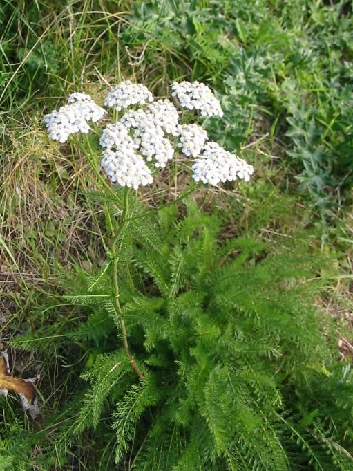 Yarrow, also known as Achillea millefolium.