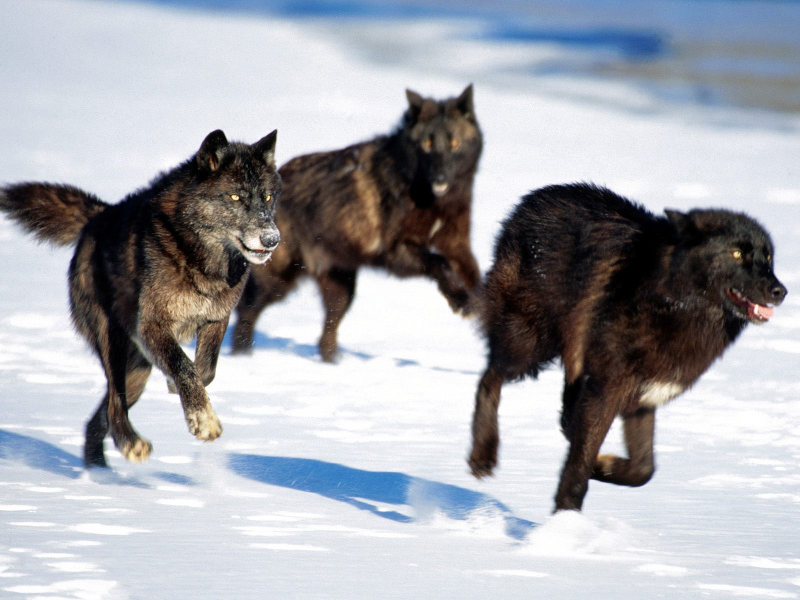 Wolves: Stop The Brutal Slaughter Of Wolves In Alberta And B.C