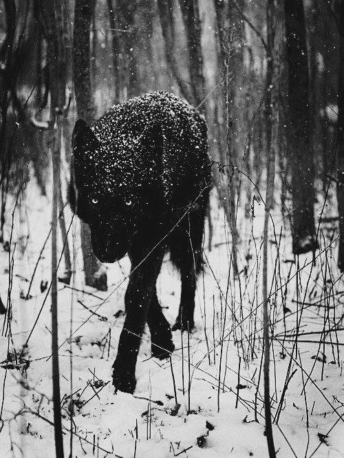Wolf black snow