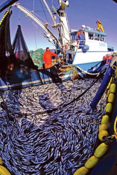 Herring caught by commercial fishing boat.