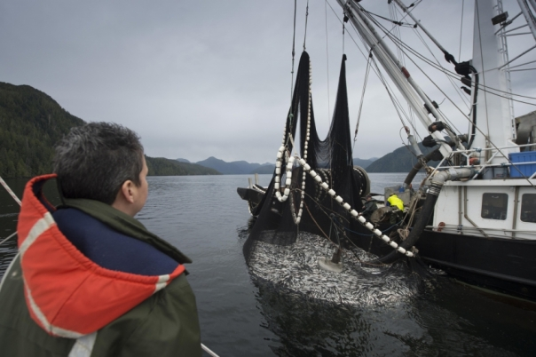 Heiltsuk woman Carrie Humchitt watches powerlessly as a commercial fishing boat takes in tonnes of herring fish in a disputed fishing area on the B.C. central coast near Bella Bella on Sunday. Photo by Ian McAllister, Vancouver Observer.