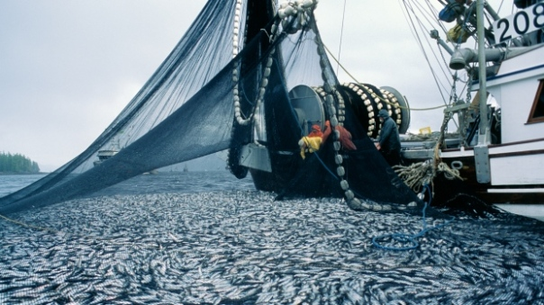 A fishing boat pulls in a net full of herring on the Central Coast of B.C. (Heiltsuk First Nation)