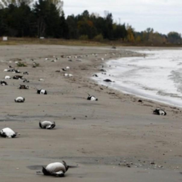 Dead auklets on California beach.