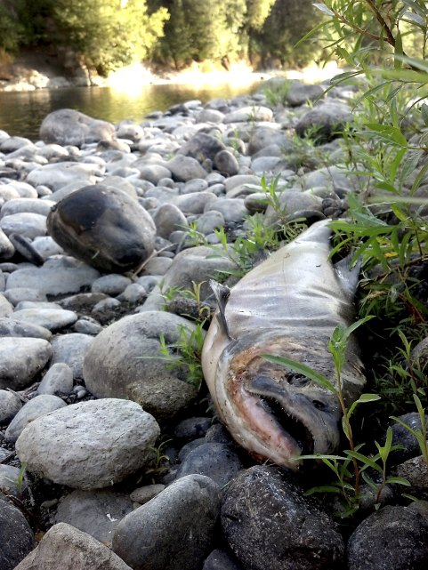 The carcass of a Chinook salmon, an apparent victim of high water temperature, is shown on the bank of the Clackamas River in Oregon. Oregon wildlife officials are restricting fishing on most of the state's rivers in an unprecedented effort to aid fish populations dying off from high water temperatures as the state suffers ongoing drought conditions. (Reuters/Rick Swart/Oregon Department of Fish and Wildlife)