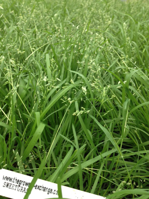 Sweetgrass as it grows in the wild.