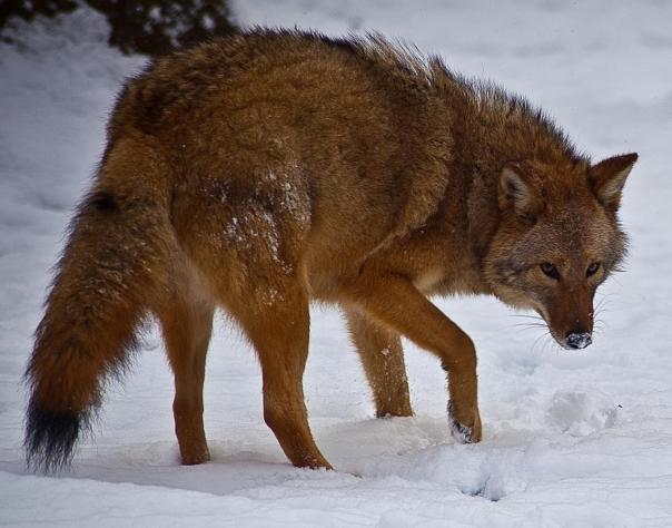 Coywolf, also known as an easter coyote. Photo: Wikimedia