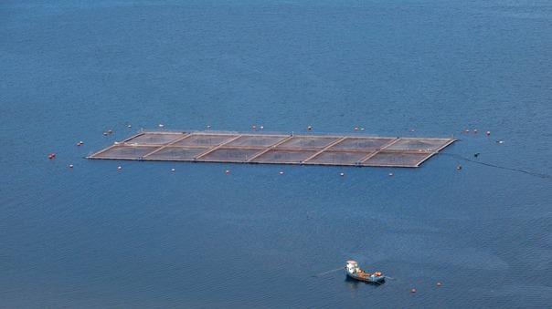 Chile red tide salmon farm