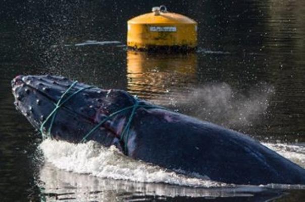 fish-farm-humpback-2