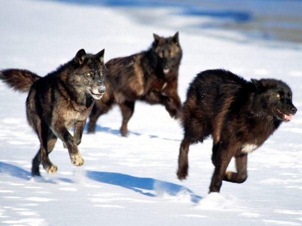 Wolf black pack
