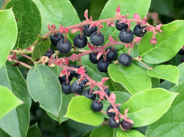 Salal berries leaves